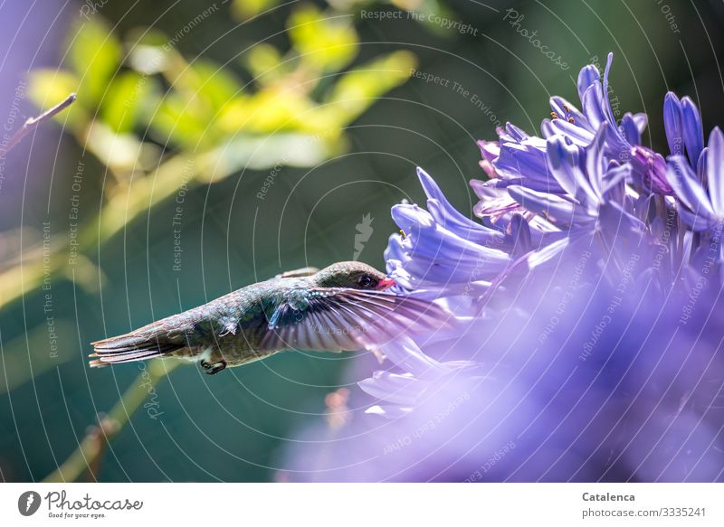 From flower to flower Nature Plant Animal Summer Flower Blossom Exotic agapanthus Jewelry lilies Garden Park Wild animal Bird Hummingbirds 1 Flying Carrying