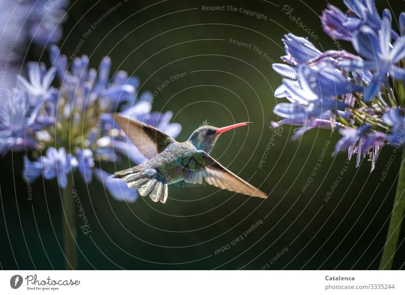Macro shot of a flying hummingbird with Agapanthus flower in the background Animal portrait Central perspective Shallow depth of field Day Copy Space right