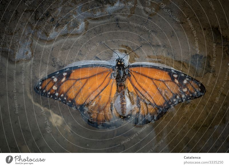 A monarch butterfly lies in a puddle of seawater on the beach Animal Wild animal Insect Butterfly Monarch Butterfly dead deceased Nature Sand Puddle Water