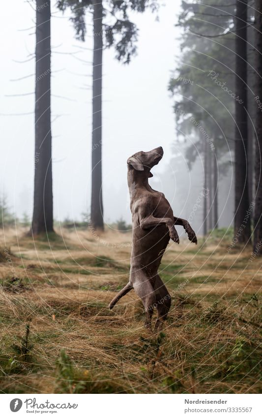 Weimaraner hunting dog in a bizarre pose in the forest Moody Hound Dog Hunting clearing youthful Animal dog breeding Forest therapy dog pointer dog Grass Idyll