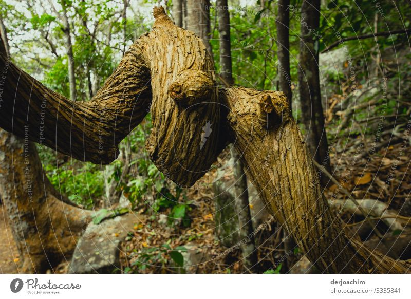 A snake tree in the National Park. Two thick branches curl into a snake shape with eyes. Joy Harmonious Trip Nature Summer Beautiful weather Tree Virgin forest