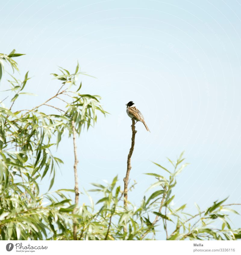 Bird summer | Pipe ram on branch birds Pipe bunting Animal Nature Sky Branch Willow tree Exterior shot 1 Deserted Twig natural Small Environment Plant