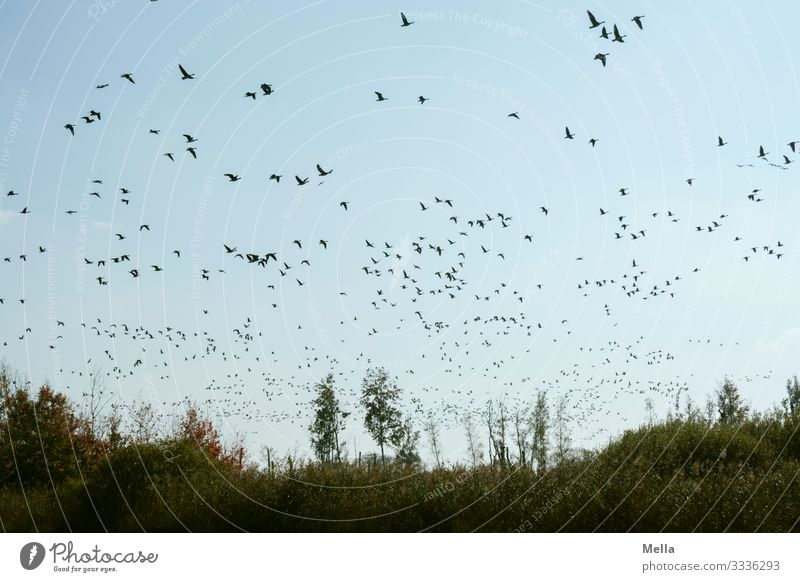 lifted off | bird cloud Environment Nature Landscape Animal Wild animal Bird Flock Flying Free Together Natural Freedom Goose Wild goose Flock of birds