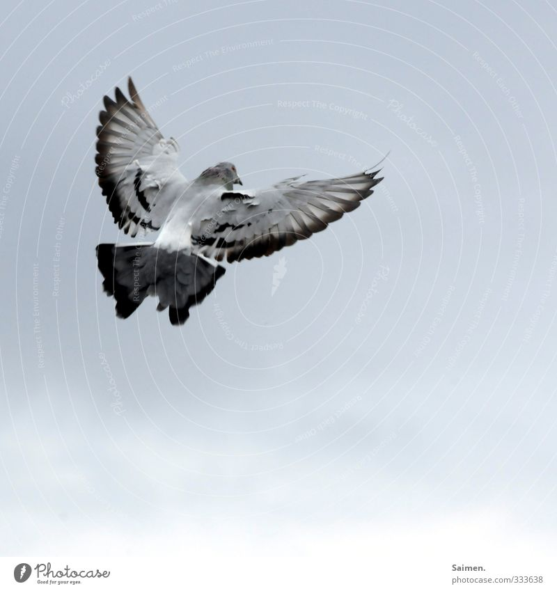 landing approach Animal Wild animal Bird Pigeon 1 Flying Freedom Feather Wing Sky Colour photo Subdued colour Day Bird's-eye view