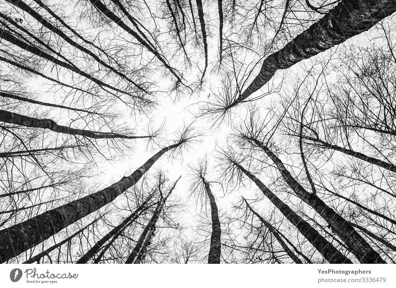 Tree tops looking up. Forest abstract scenery. Leafless trees Environment Nature Landscape Park Natural Perspective Symmetry backdrop bottom view