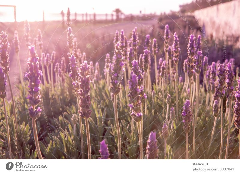 Lavender field Environment Nature Landscape Plant Animal Sunlight Flower Grass Blossom Agricultural crop Wild plant Garden Field Authentic Fragrance Healthy