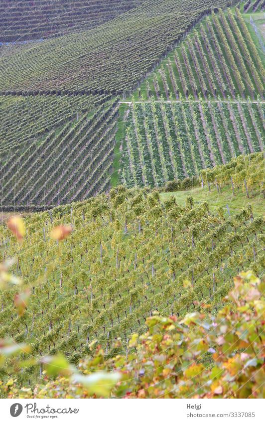 Vineyards in graphical order Environment Nature Landscape Plant Autumn Beautiful weather Leaf Mountain Black Forest Line Stand Growth Esthetic Authentic