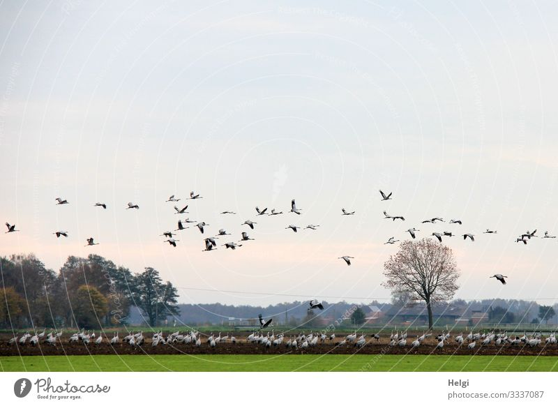 many cranes are standing on the field and flying in the air | lifted off Environment Nature Landscape Plant Animal Earth Sky Autumn Beautiful weather Tree Grass