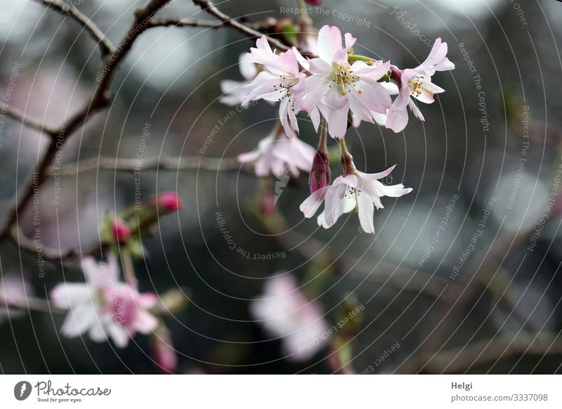 pink flowers on a branch in spring Environment Nature Plant Spring Bushes Blossom Bud Twig Park Blossoming Growth Esthetic Beautiful Natural Gray Pink Moody