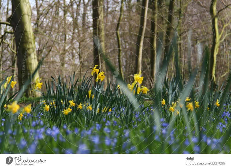 yellow daffodils and blue flowers grow in a park under trees Environment Nature Landscape Plant Spring Beautiful weather Tree Flower Leaf Blossom