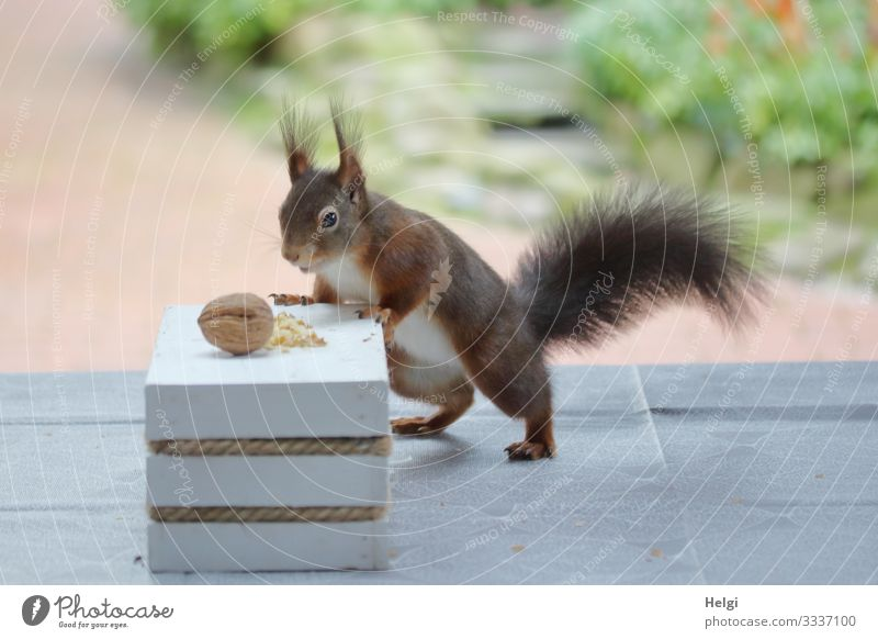Squirrel seeks food on the terrace Environment Nature Plant Animal Winter Garden Terrace Wild animal 1 Walnut Table To hold on Looking Stand Authentic
