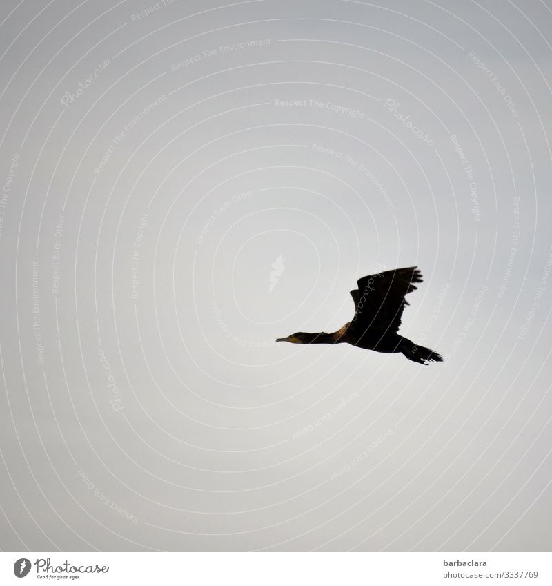 cormorant Sky Bird Cormorant 1 Animal Flying Elegant Tall Above Blue Gray Freedom Climate Far-off places Colour photo Subdued colour Exterior shot Pattern