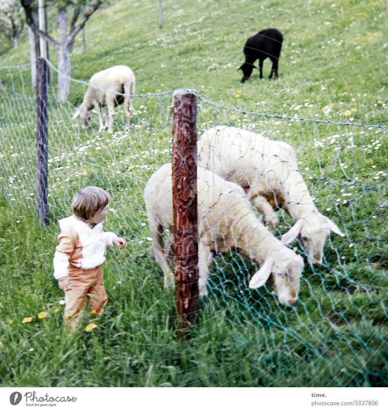 New friends Child 1 Human being Beautiful weather Tree Meadow Animal Farm animal Sheep 4 Fence Fence post Observe Looking Moody Willpower Love of animals