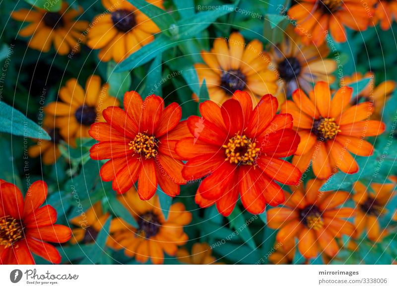 ZINNIA, DWARF, elegans orange flowers blooming in a garden Beautiful Garden Group Nature Plant Flower Blossom Blossoming Fresh Bright Natural Brown
