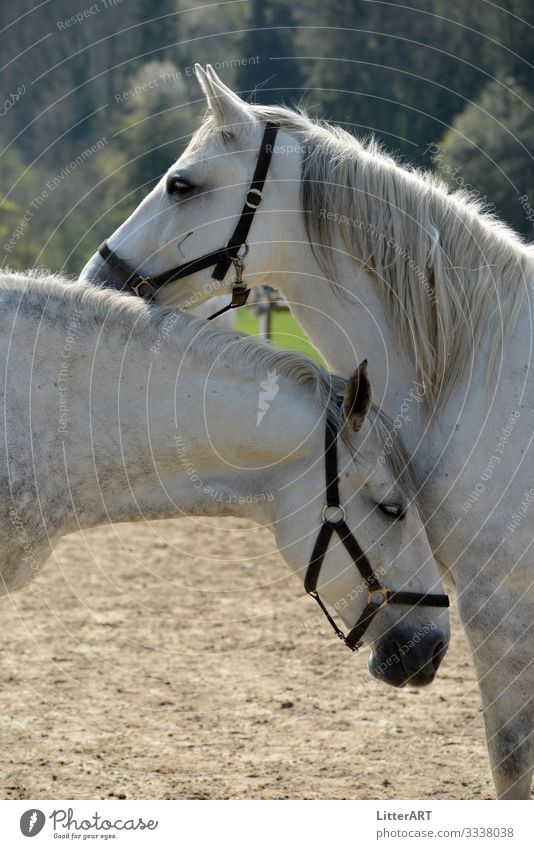 LIPIZZAN LOVE Elegant Ride Animal Horse Pair of animals White Happy Contentment Love Love of animals Infatuation Romance Relationship Emotions Lipizzaner