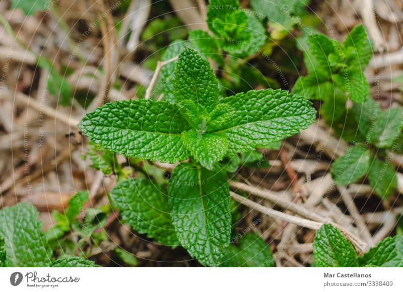 Mint plant with leaves. Herbs and spices Health care Alternative medicine Wellness Life Harmonious Fragrance Garden Nature Plant Leaf Pot plant Fresh Natural