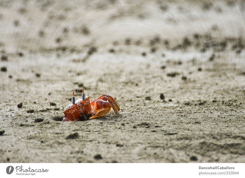 Mr. Krabbe Environment Nature Sand Coast Beach Ocean Animal Shrimp 1 Observe Crawl Elegant Red Loneliness Watchfulness Hollow Life Individual Caution Attentive