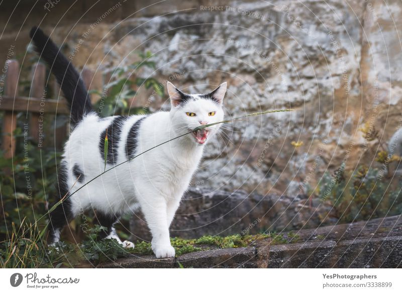 Cat biting a grass thread. Yellow eyes cat staring. Funny cat Landscape Pet 1 Animal Natural Crazy cat biting domestic animal evil eyes free animals funny cat