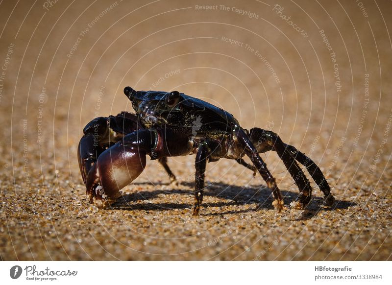 beach dwellers Nature Animal Cancer 1 Environment Beach Shellfish Crawl Shrimp Colour photo Exterior shot Day Worm's-eye view