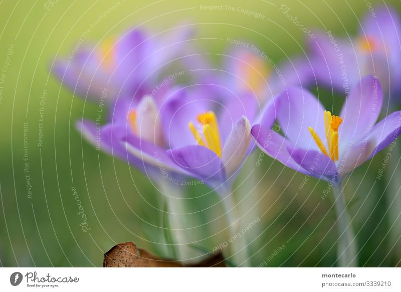 weather change Environment Nature Plant Spring Leaf Blossom Foliage plant Wild plant Crocus Thin Authentic Fresh Small Near Natural Soft Green Violet