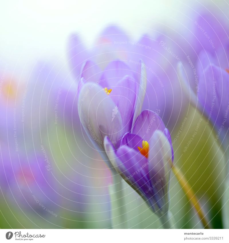 Every year again ... Environment Nature Plant Spring Leaf Blossom Foliage plant Wild plant Crocus Authentic Fresh Beautiful Natural Soft Green Violet