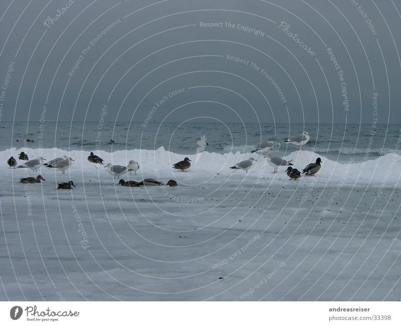 Freezing birds Seagull Mud Freeze Cold Ocean Dreary Bad weather Gray Waves Bird Animal Duck Water Ice Snow Frost Clouds