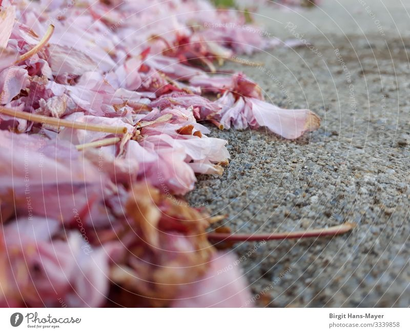 Cherry blossoms withered Environment Nature Plant Spring Blossom Street Village Lanes & trails Esthetic Natural Gray Pink Life Nostalgia Transience Fragile