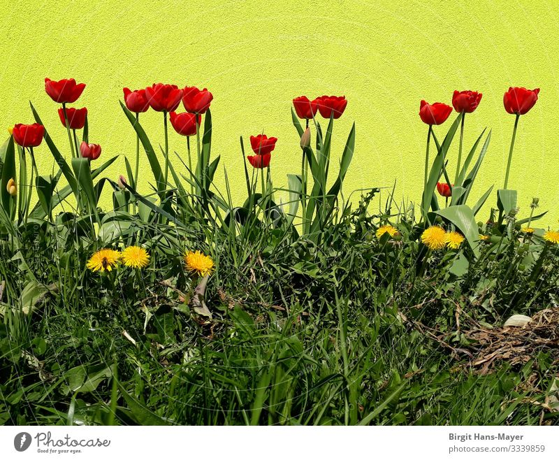 Tulip bed Garden Easter Nature Plant Spring Beautiful weather Warmth Blossom Park Flowerbed Blossoming Fragrance Growth Simple Happiness Fresh Retro Yellow