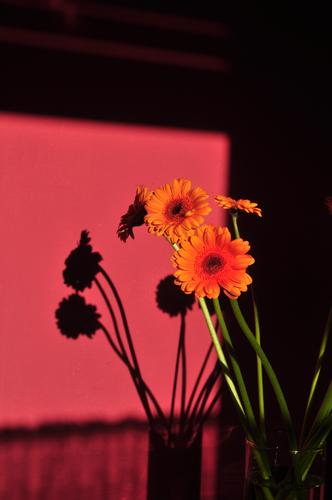 Shadow on the wall - Gerbera Plant Bouquet Blossoming Esthetic Authentic Friendliness Fresh Uniqueness Green Orange Pink Romance Beautiful Elegant Colour