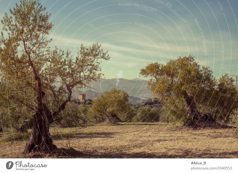 Olive tree landscape in Ronda Andalusia Spain Vacation & Travel Nature Landscape Plant Tree Olive grove Field Old Authentic Retro Dry Idyll Nutrition Vintage