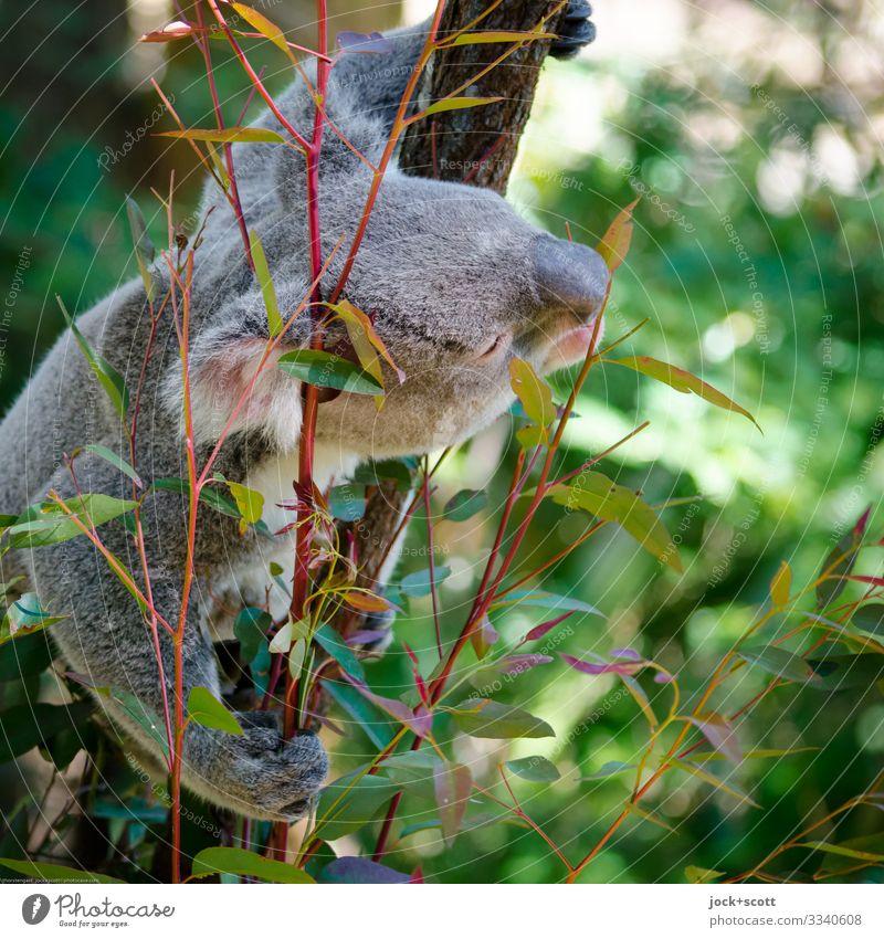 Tree inhabitant likes eucalyptus Warmth Eucalyptus tree Leaf Koala 1 To hold on Authentic Exotic Cuddly Above Watchfulness Inspiration Senses To feed Habitat