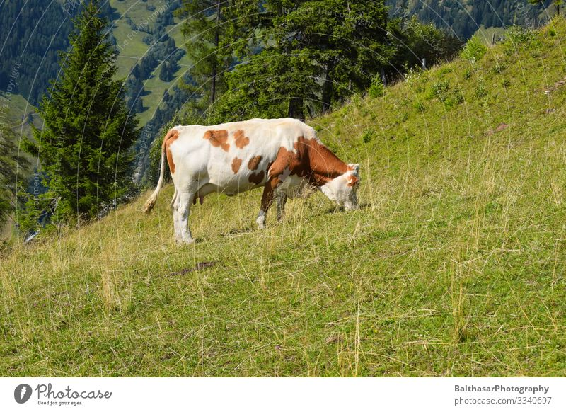Cow on meadow (in the mountains) Vacation & Travel Trip Freedom Summer Mountain Hiking Environment Nature Landscape Sunlight Weather Beautiful weather Plant