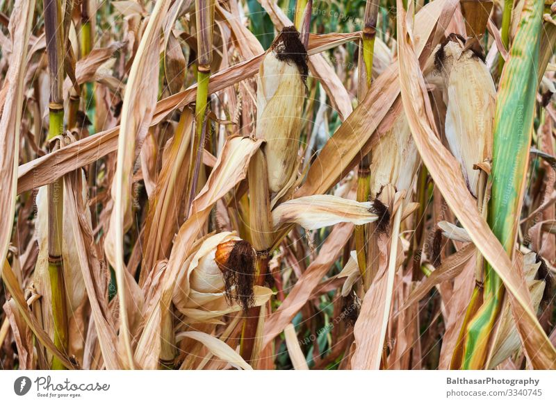 Corn cobs (in the maize field) Food Vegetable Nutrition Vegetarian diet Summer Culture Environment Nature Plant Climate Climate change Warmth Drought