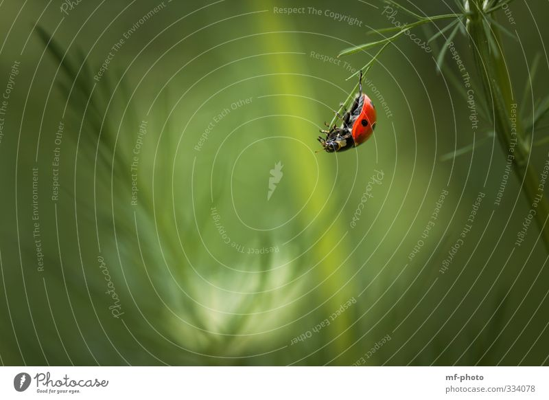 free climber Nature Plant Animal Spring Beetle Ladybird 1 Green Red Colour photo Exterior shot Macro (Extreme close-up) Deserted
