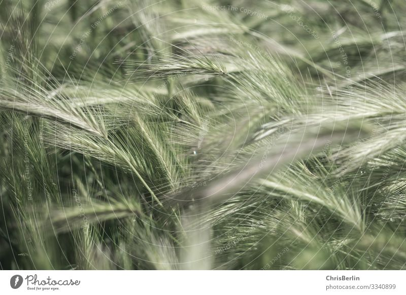 In the middle of a cornfield Nature Landscape Summer Agricultural crop Grain Field natural green Environment Subdued colour Exterior shot Grain field