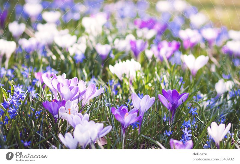 crocuses Crocus crocus blossom Bouquet Flower Spring Blossom Plant Violet Nature Close-up Garden Blossoming Exterior shot Colour photo Macro (Extreme close-up)