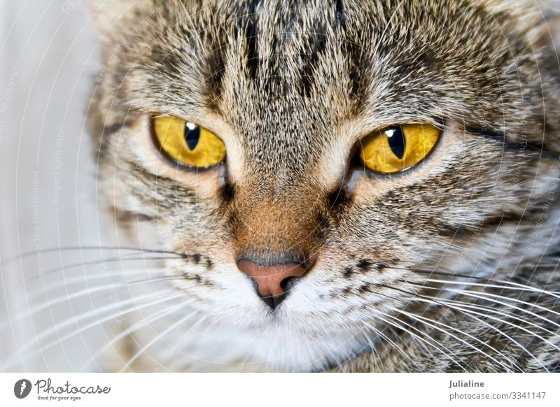 Cat portrait with yellow eyes Animal Moustache Pet Stripe Yellow Gray Mammal whiskers sideburns Colour photo Multicoloured
