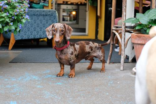 Hello, I'm a dachshund! Leisure and hobbies Veterinarian Retirement Closing time Animal Pet Dog 1 Looking Stand Natural Brown Joy Power Passion Considerate
