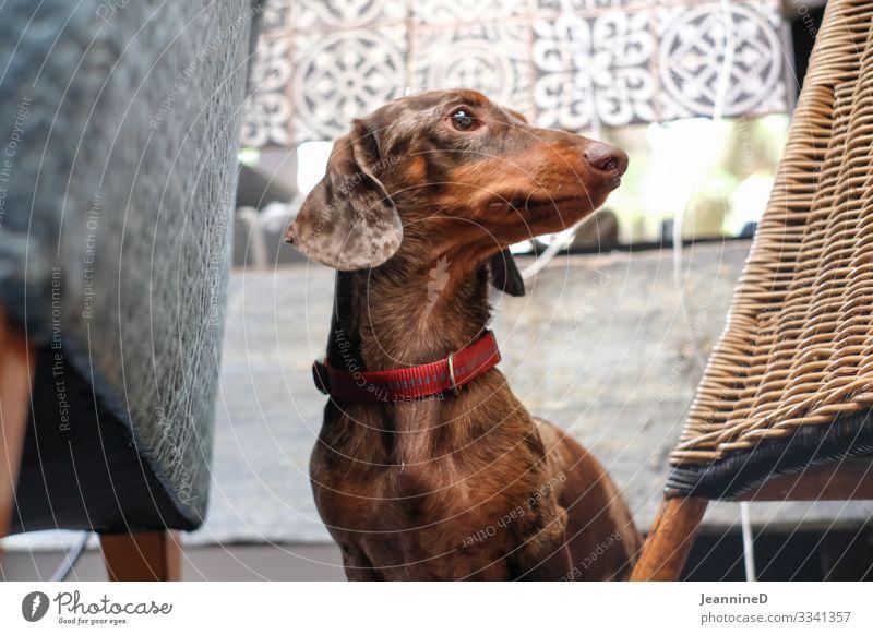Hello, I'm a dachshund! Leisure and hobbies Veterinarian Closing time Pet Dog 1 Animal Brash Funny Brown Love of animals Life Puppydog eyes Dog parlor Dachshund