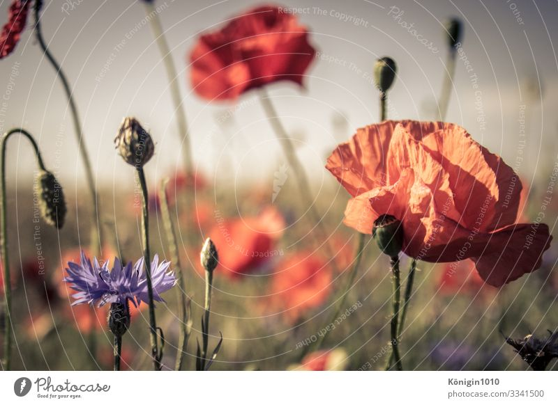 poppy Landscape Plant Summer Beautiful weather Blossom Field Fragrance Green Violet Orange Red Poppy Poppy field Poppy blossom Cornflower Meadow Colour photo