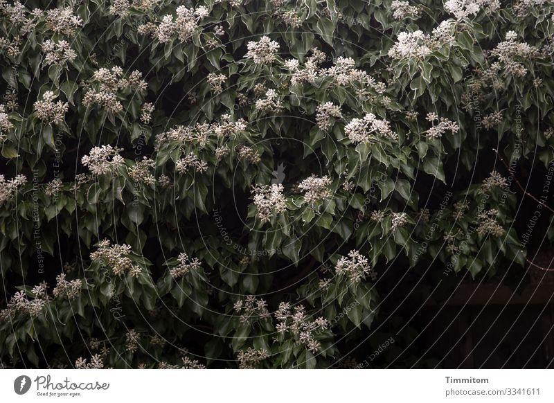 Nature Plant Green White Leaf Winter Dark Black Environment Cold Emotions Garden Ice Frost Frozen Ivy