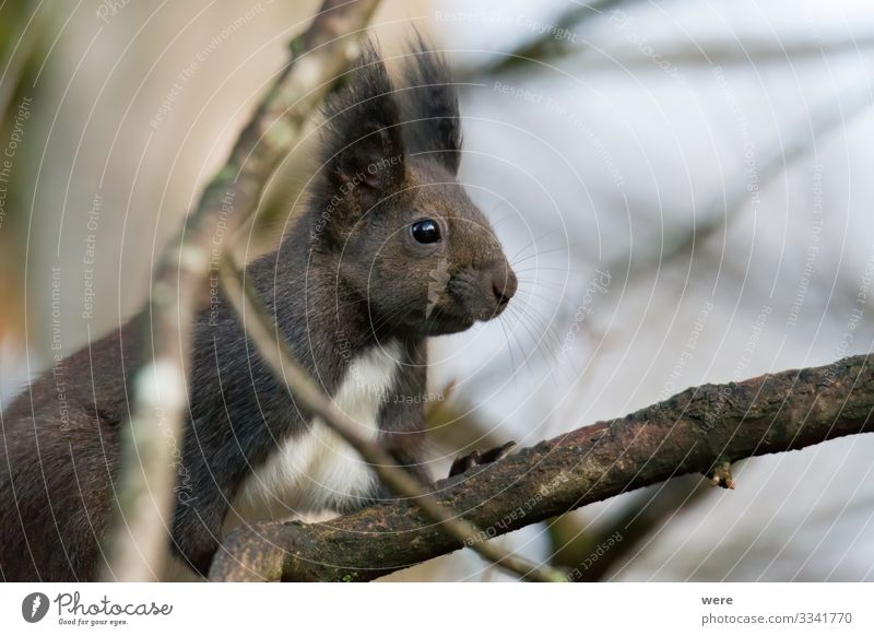 European brown squirrel in winter coat on a branch in the forest Nature Animal Wild animal Squirrel 1 Far-off places Curiosity Cute Soft branches copy space