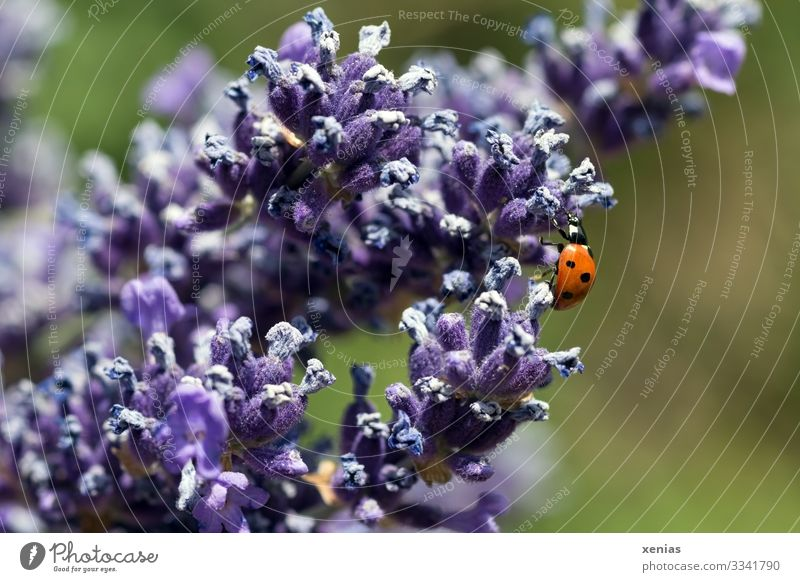 Ladybird on lavender Nature Summer Blossom Lavender Garden Park Animal Beetle 1 Blossoming Crawl Small Green Violet Red Happy Calm xenias Colour photo