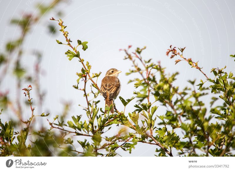 Young shrike sitting on a branch Nature Animal Wild animal Bird 1 Observe Elegant Small lanius excubitor young copy space fly hunter nobody raptor songbird