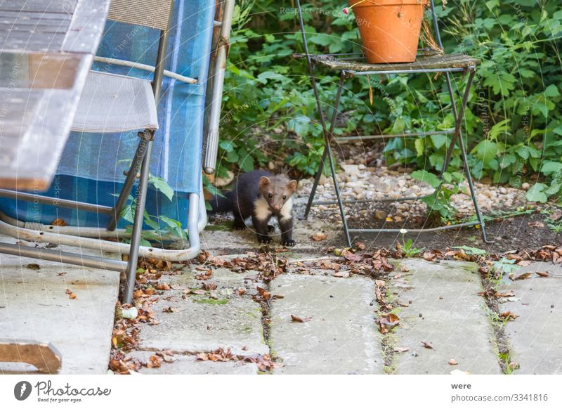 joung Stone marten peeks out of Garden Chairs Nature Animal Wild animal Marten 1 Observe To feed Hunting Aggression Esthetic Cute Martes foina bit building