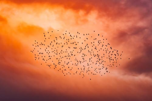 Flock of birds in the red evening sky Evening sun Twilight animals Flying Many quantity Major event mass panic group Assembly Red Sunset swarm intelligence