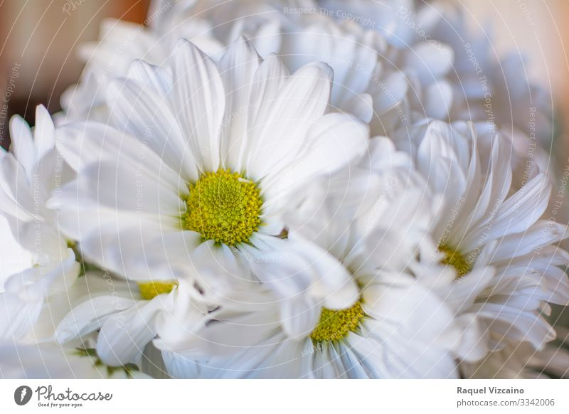 Daisies flowers Beautiful Summer Garden Nature Plant Flower Blossom Bouquet Yellow White daisy Chrysanthemum Floral spring camomile Beauty Photography daisies