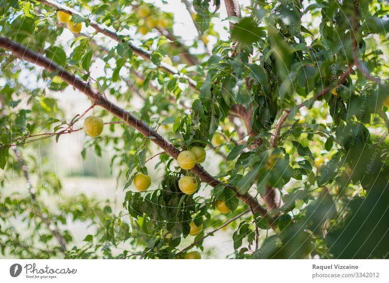 Ripe yellow plums hanging from the tree. Fruit Apple Summer Garden Nature Plant Spring Tree Leaf Fresh Natural Yellow Green Plum branch food Mature agriculture