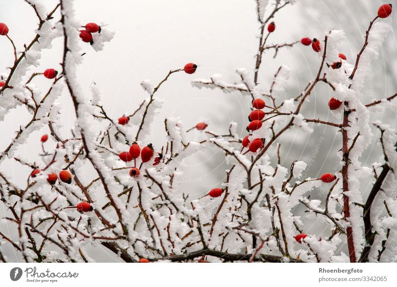 snow-covered rose hips at icy temperatures Fruit Jam Tea Winter Snow Winter vacation Mountain Hiking Environment Nature Landscape Plant Climate Climate change