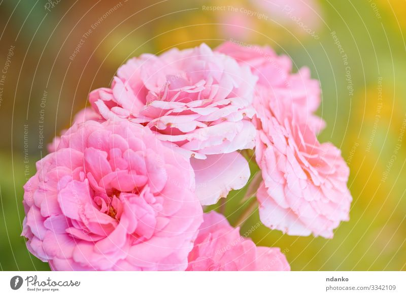 buds of pink blooming roses Beautiful Summer Sun Garden Gardening Nature Plant Flower Leaf Blossom Bouquet Fresh Natural Yellow Green Pink Red Romance Colour